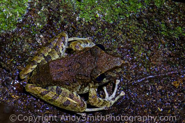 Boulenger's Long-snouted Tree Frog, Scinax boulengeri