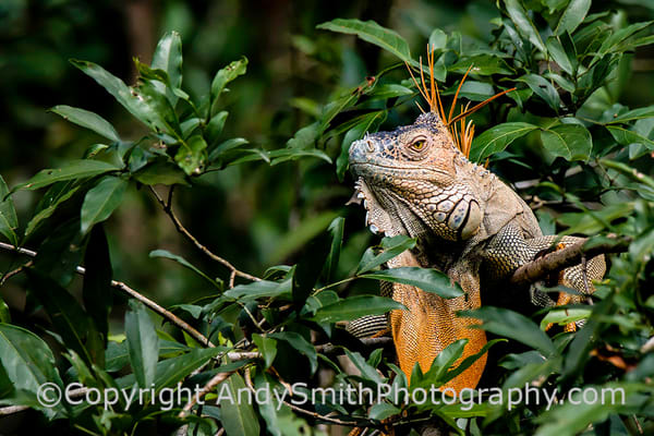 fine art photograph of a Green Iguana male, Iguana iguana