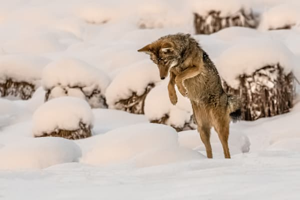 Coyote hunts in snowy winter meadow