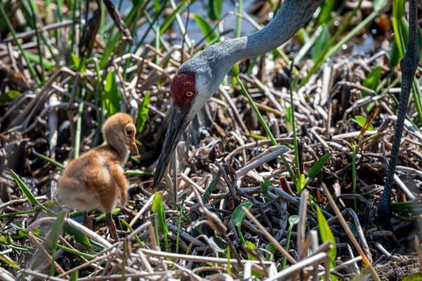 Sandhill cranes mom and daughter