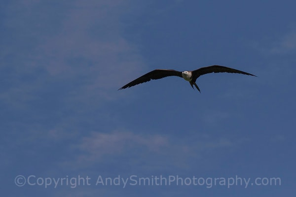 fine art photograph of Magnificent Frigatebird, Fregata magnificens