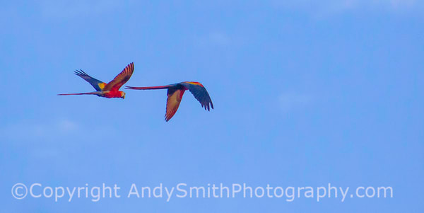 Scarlet Macaw,  Ara macao, in flight