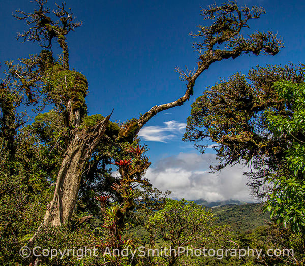Tree in the Cloud Forest