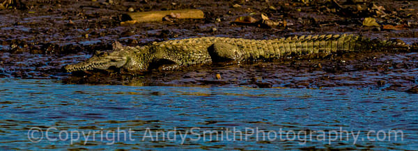 fine art photogrpah of American Crocodile, Corcdylus actus,