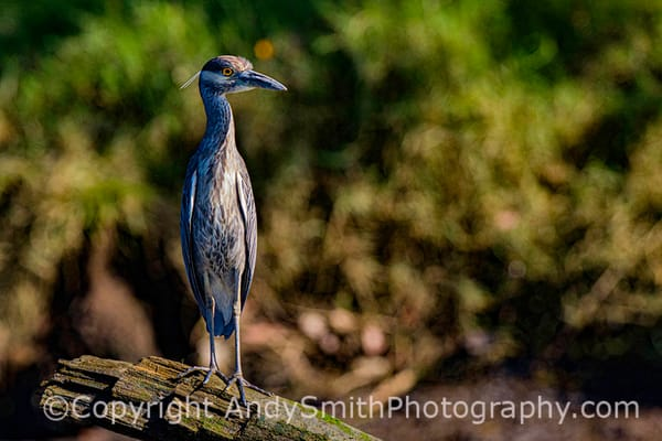 Yellow Crowned Night Heron,  Nyctanassa violacea