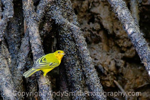Resident Yellow Warbler, Setophaga petechia