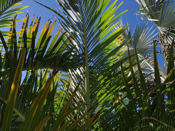 Palm Joy 9