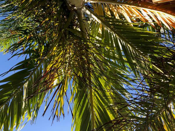 Palm Joy 8
