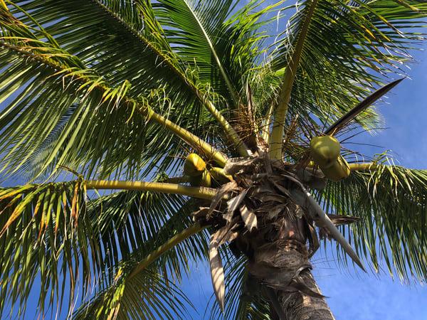 Palm Joy 2