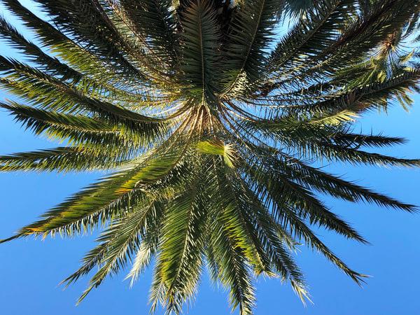 Palm Joy 5