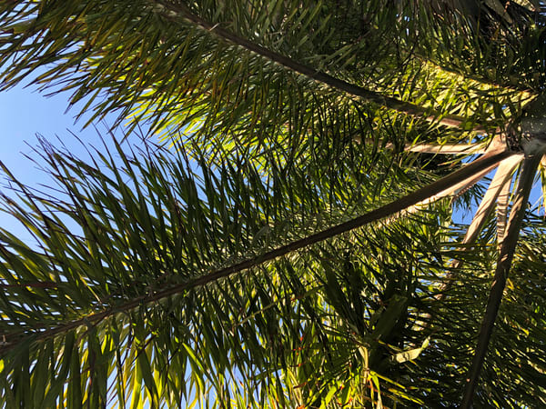 Palm Joy 4