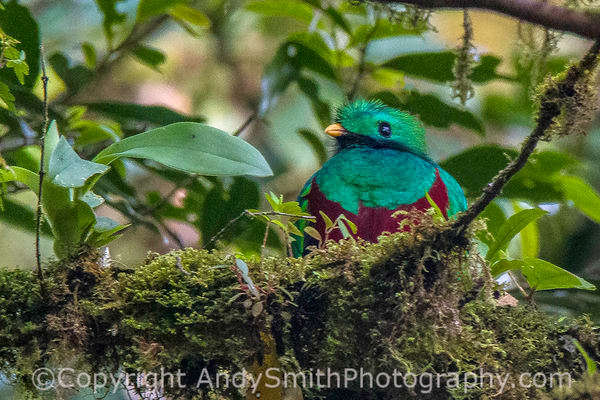 fine art photograph of the Resplendant Quetzal, pharomachrus moccin