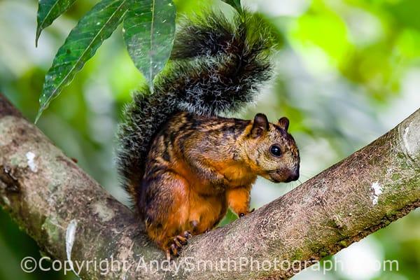 fine art photograph of Vaiegated Squirrel, Sciurus variable