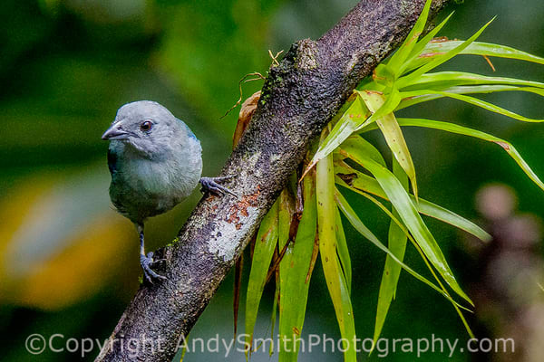 fine art photograph of Blue-gray Tanager, Thraupis episcopus