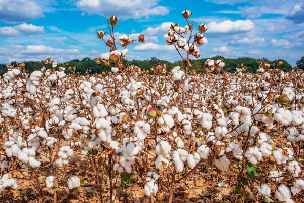 Cotton field in Mississippi delta