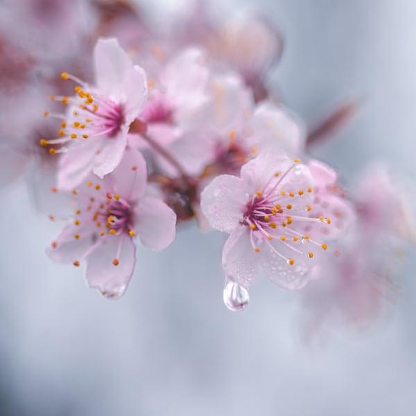 Plum Tree Blossom Photograph for Sale as Fine Art