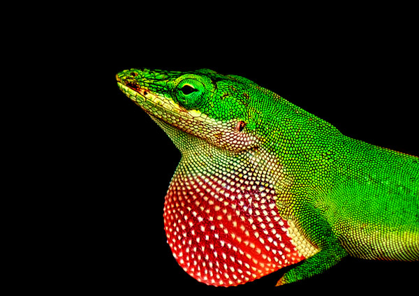 Portrait Of A Lizard Photography Art | draphotography
