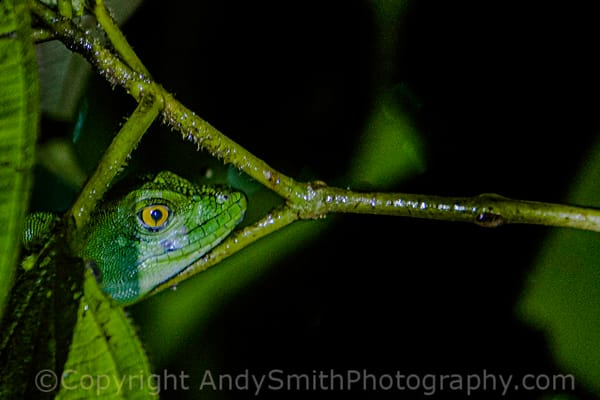 fine art photograph of Green Tree Anole, Norops biporcatus,