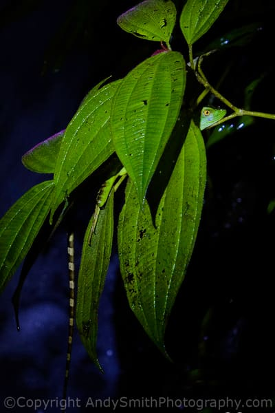 fine art photograph of camouflaged  Green Tree Anole, Norops biporcatus,