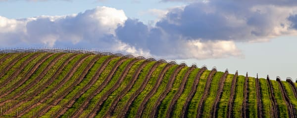 Rolling Late Winter Vineyard Photography Art | Josh Kimball Photography