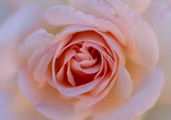 Blushing Rose Fine Art Photographic Print