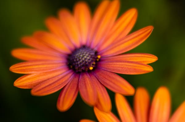African Daisy Sorbet Photographic Print