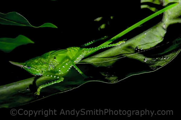 fine art photograph of Conehead Katydid