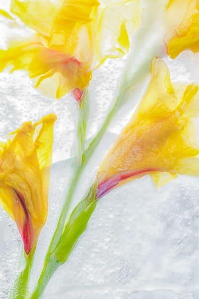 Glassy Gladiola  Art | capeanngiclee