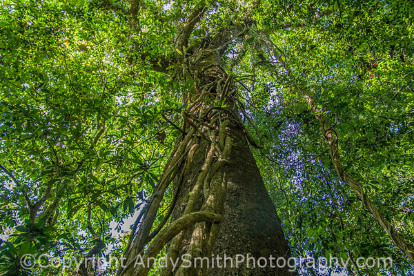 fine art photograph looking up in the rainforest