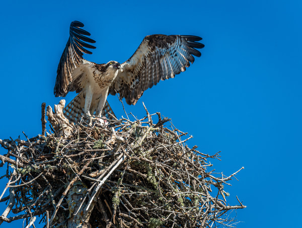 Large osprey nest Photography By Festine