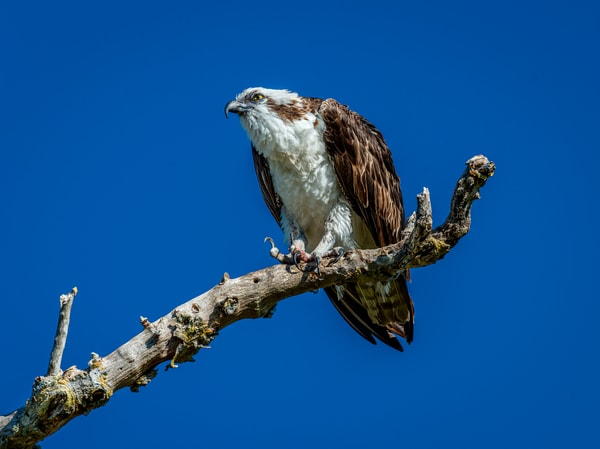 Osprey talons  Photography By Festine