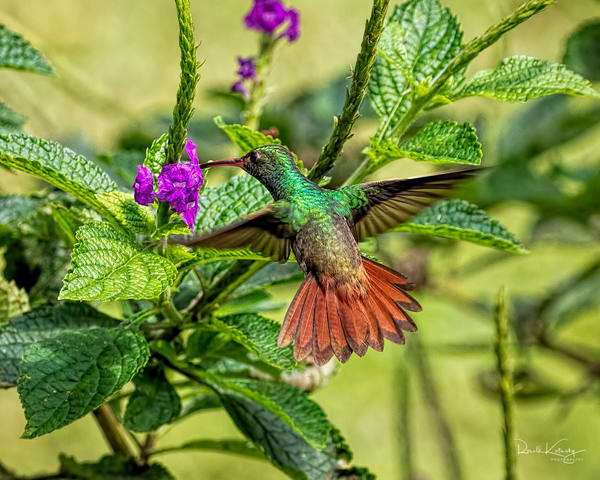 The Rufous-Tailed Hummingbird