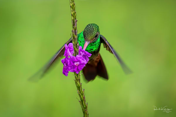 Emeralds Necklace of the Rufous-Tailed  Hummingbird