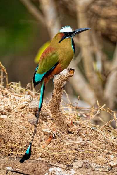 A Portrait of a Turquoise-Browed Motmot