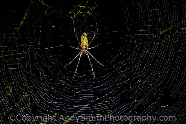 fine art photograph of Golden Orb Spider, Nephila clavipes