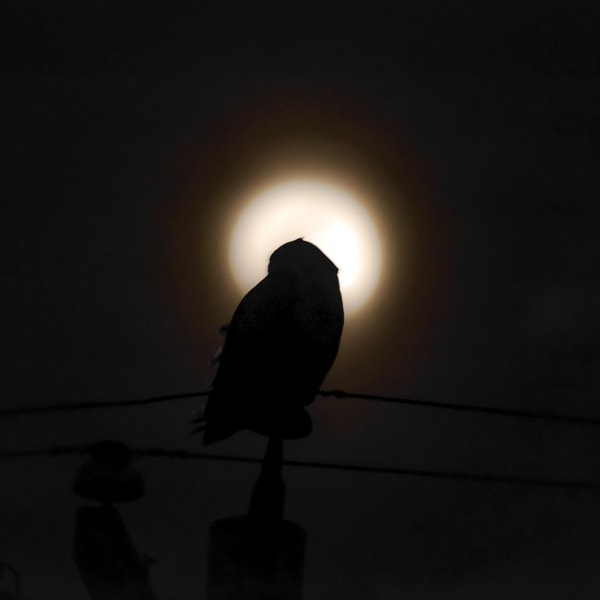 Snowy Owl Moonlit  Art by capeanngiclee