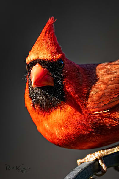 A Perfect Portrait of a Cardinal at Sunset