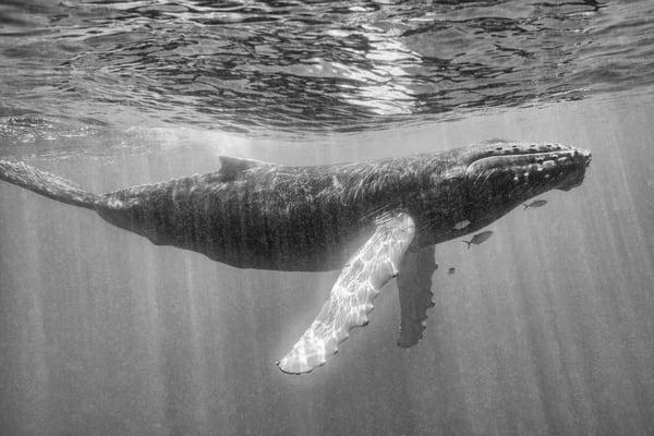 Humpback Whale Calf BW, Silver Bank, Dominican Republic