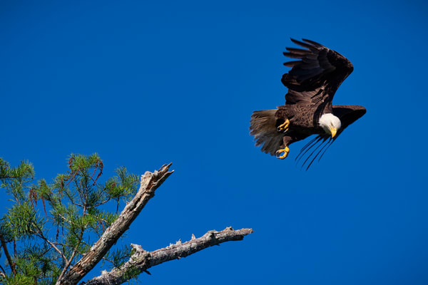 Takeoff - Louisiana bald eagle fine-art photography prints