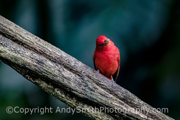 fine art photograph of Summer Tanager, Piranga rubra
