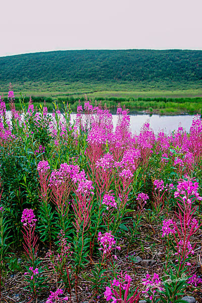 Fireweed of Alaska by Terry Rosiak