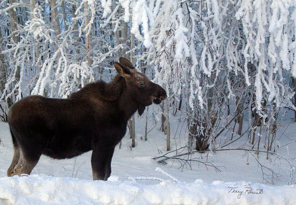 Liking the Snow- A Moose's Brunch by Terry Rosiak