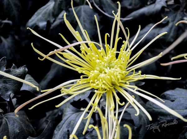 Yellow Spider Flower, Photo by Terry Rosiak