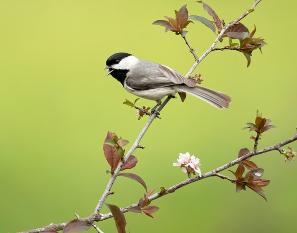 Chickadee In The Spring Photography Art | Jim E Johnson Photography