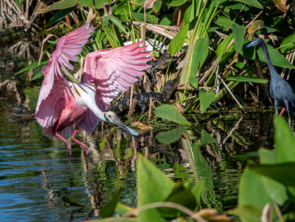 Spoonbill landing in danger Photography By Festine