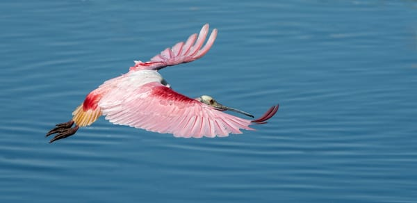 Roseate Spoonbill in flight Photography By Festine