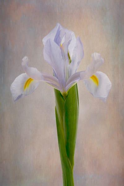 Blue Iris Art | Cincy Artwork