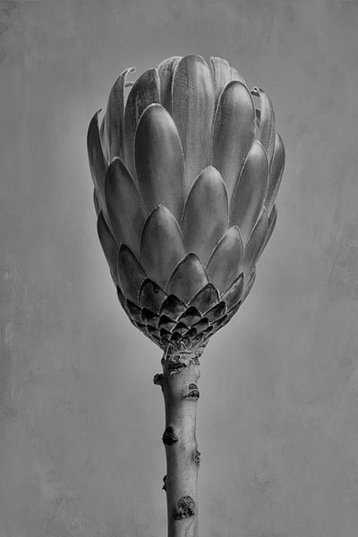 Protea Aristata Art | Cincy Artwork