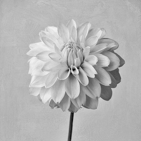 White Dahlia Art | Cincy Artwork