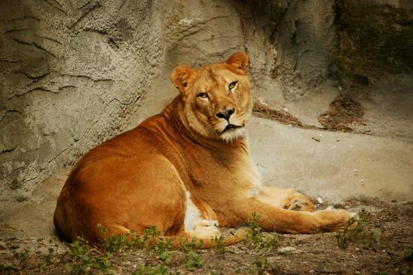 Lioness  Art | DocSaundersPhotography